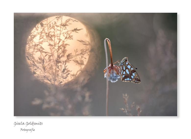 Het Kleineparelmoertje - Iedereen bedankt voor de heel fijne reacties en het kijken op mijn vorige upload  Heidelibel<br /> <br /> Daar waar we de v