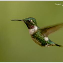 Kolibrie in vlucht, Ecuador.