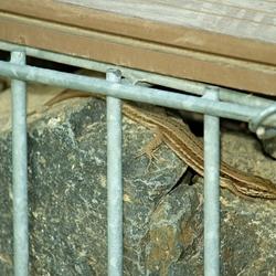 Foto van een over stenen kruipende hagedis.
