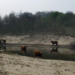 Schotse Hooglanders in Heemskerks duingebied