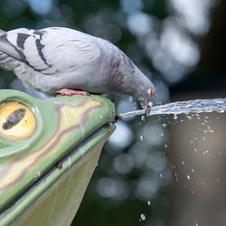 dorstige duif in de efteling
