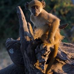 'Oh hello!' Model monkey