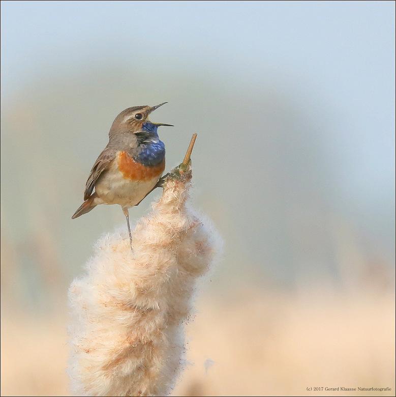 Blauwborst  - De eerste blauwborsten zijn inmiddels gearriveerd uit Afrika. Veel zingen doen ze nog niet, maar dit komt wel. Nu eerst foerageren en op
