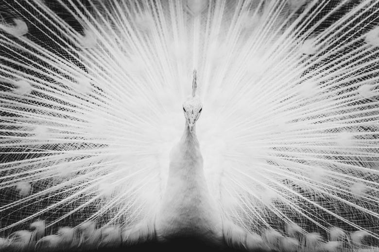 natuur explosie - Deze foto heb ik gemaakt in dierenpark Born. Net toen ik voorbij liep met mijn zoontje toonde deze troste witte pauw zijn verentooi.
