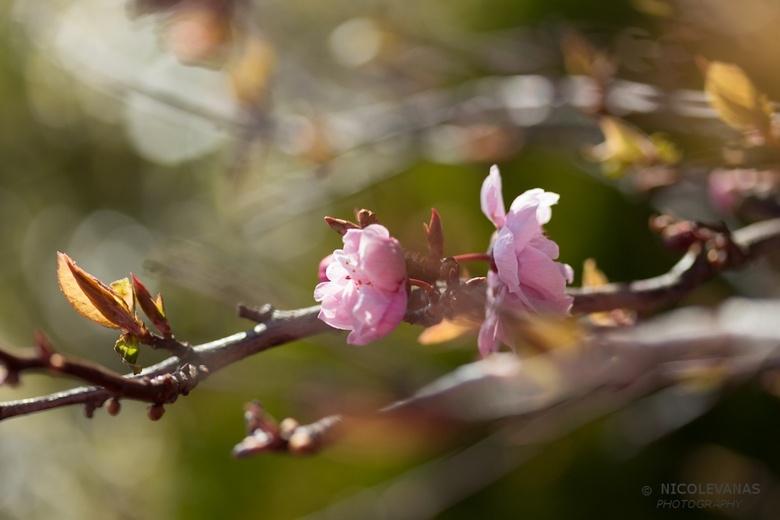 Teder - Lang gewacht, maar nu is de lente eindelijk daar. De tedere bloesembloemetjes ontploffen uit de takken. Het gaat nu hard. Genieten met je macr