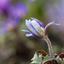 de blauwe anemonen komen op...