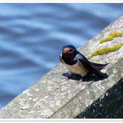 1 Zwaluw maakt al zomer