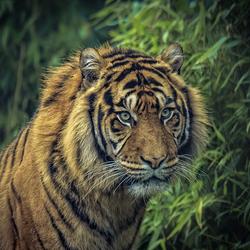 Sumatraanse tijger Man