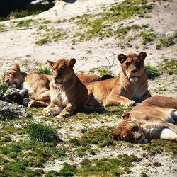 Groepje leeuwen