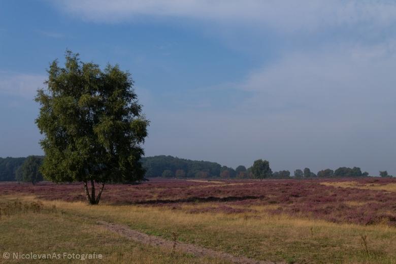 Purple. - Hoorneboegse Heide te Hilversum.