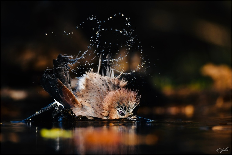 Gaai neemt een bad -