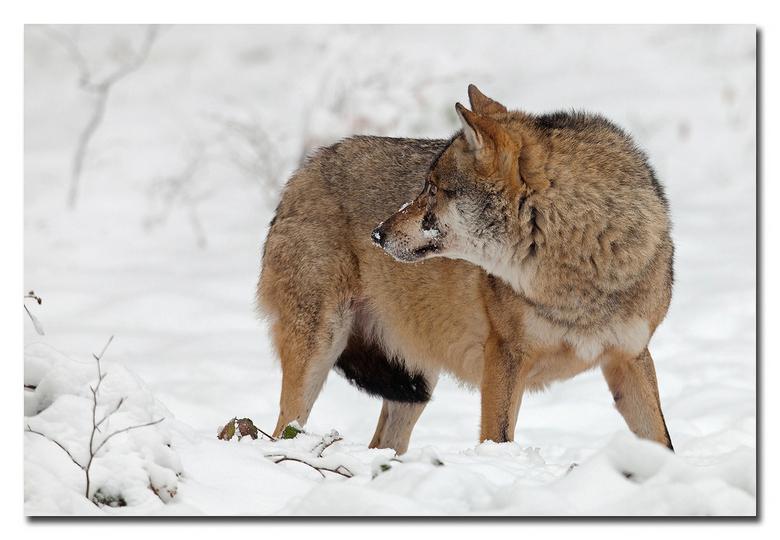 Onderdanig - een wolf met een onderdanige houding<br /> <br /> effie sin het groot bekijken!<br /> <br /> Heel erg bedankt voor de fijne reacties