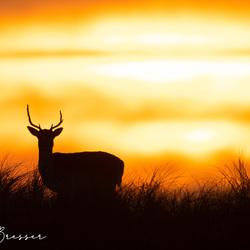 Een hert met zonsondergang
