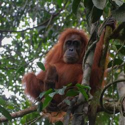 Sumatra 4
