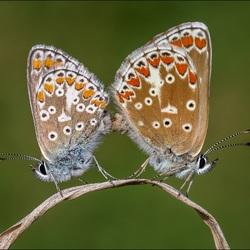Parende Icarus vlinders.