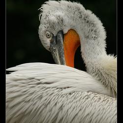 Kroeskop-pelikaan