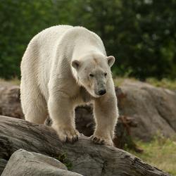 Mama ijsbeer in Blijdorp