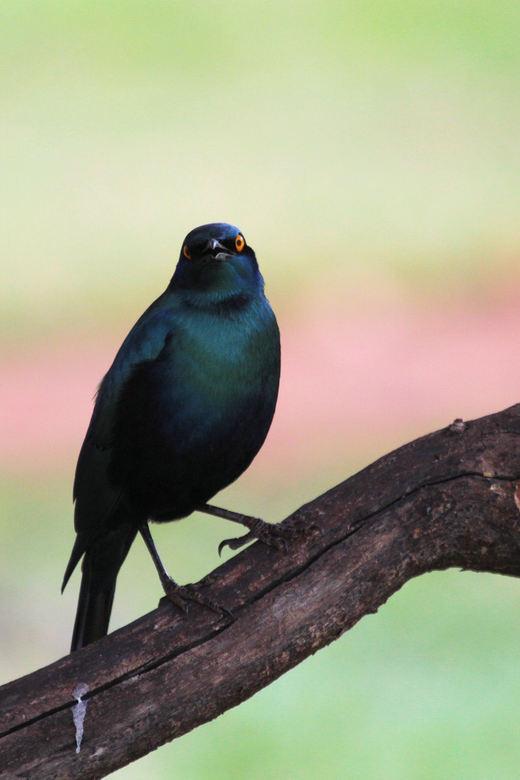 Greater Blue-eared Starling - Telkens als er een rustmoment was tussen de ochtend- en middag gamedrive ging ik op pad op het terrein rond de lodge om