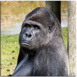 Gorilla zilverrug