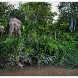 Olifanten van Kinabatangan