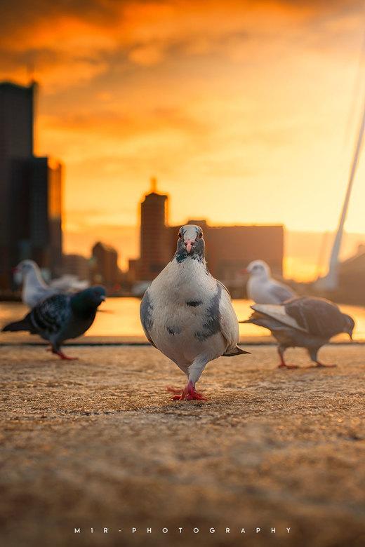 Pigeon Catwalk