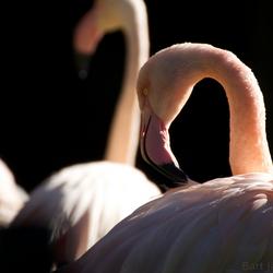 Flamingo in ochtendlicht