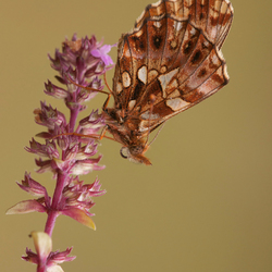 akkerparelmoervlinder