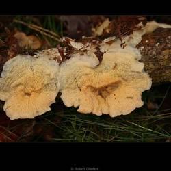 Spekzwoerdzwam (Merulius tremellosus)