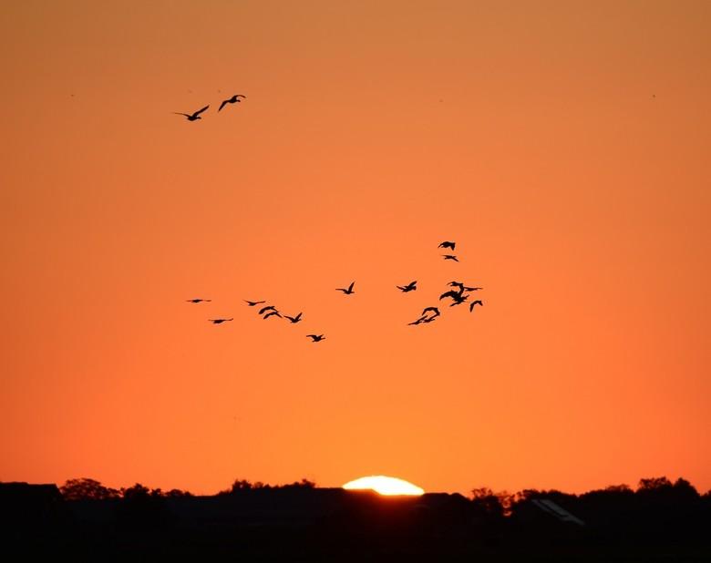 Eerste stralen van de zon - Een zwerm Grauwe Ganzen gaat op de wieken om naar de velden te vliegen waar zij hun eten kunnen vinden