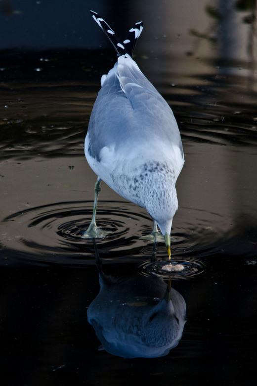 Zeemeeuw - Zeemeeuw in plasje water met spiegeling
