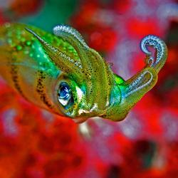 Juvenile Squid