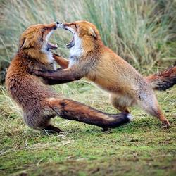 vossen verkleind