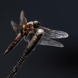 Libelle op auto-antenne