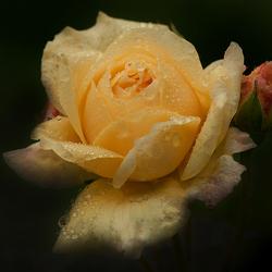 kan weer uploaden ----  Yellow Rose ......