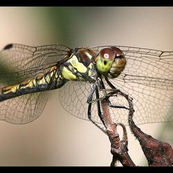 Wings of libelle