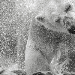 Polar bear  in B&W ...