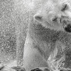Polar bear  in B&W ...