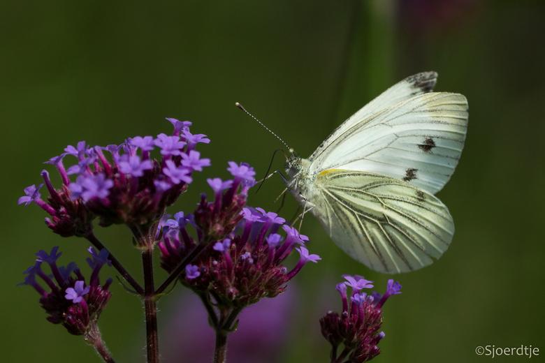 Klein geaderd witje  - Gisteren heerlijk in de tuin van landgoed Oostbroek rondgelopen. <br /> Veel vlinders en andere insecten. Heerlijk. <br /> Be