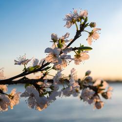 Lente bloesem in de zonsondergang