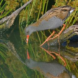 Waterral (Rallus Aquaticus)