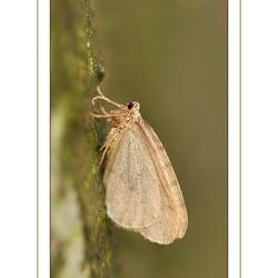 De kleine wintervlinder (Operophtera brumata)