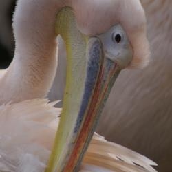 Pelican - 1