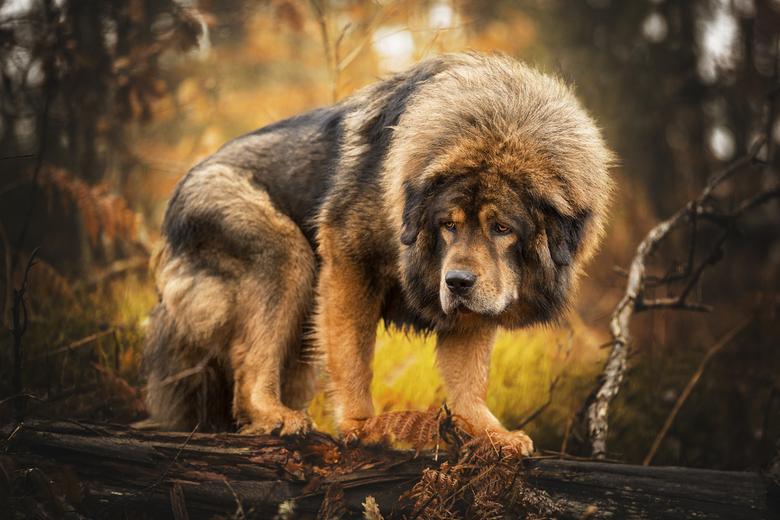 Lion - Ras: Tibetaanse mastiff<br /> Locatie: Zweden<br /> <br /> Halfbroer van mijn hond.<br />