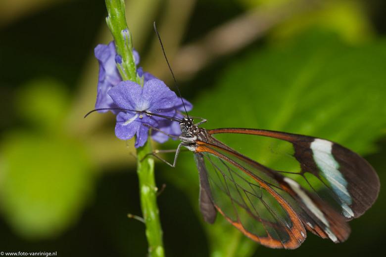lichtje in het oogje.... - Deze foto is genomen in de vlindertuin van Havelte.<br /> Een prachtige vlinder met doorzichtige vleugels, van deze vlinde