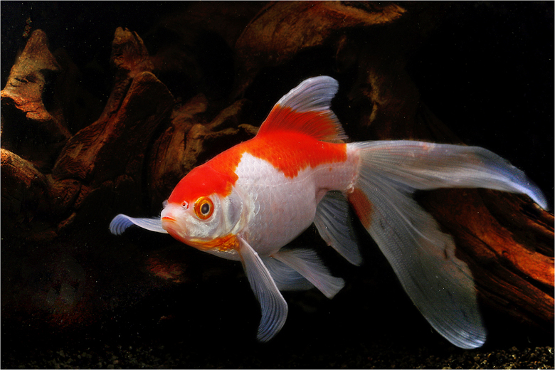 goudvis -
