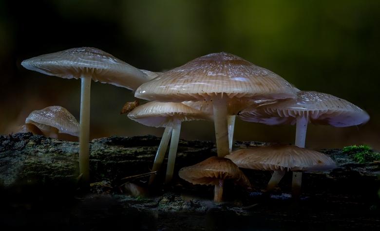 Mycena spec - Deze foto is een stack opname van 16 foto's