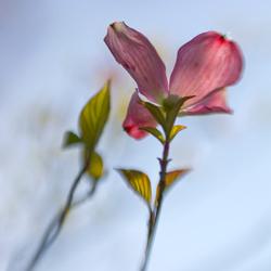 barairono  薔薇色の