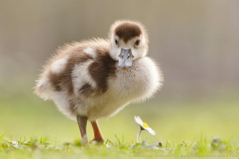 "If it Walks like a Goose and Talks like a Goose…. - Nieuw Blog over babygansjes: <a href=""http://roeselien.wordpress.com/2014/04/11/99-if-it-walks-lik"