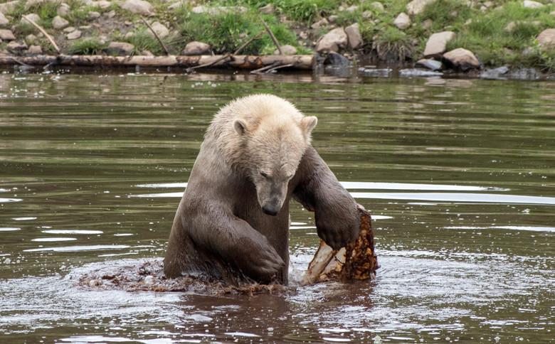 Jonge ijsbeer in het water -