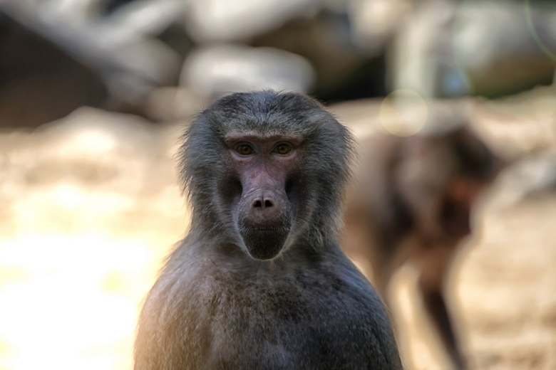 The Baboon Stare - Deze baviaan bleef me maar aanstaren, dus natuurlijk een perfect moment om er een foto van te maken!<br /> <br /> Foto is genomen